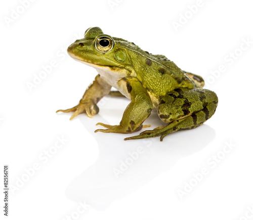 Foto op Plexiglas Kikker Common Water Frog in front of a white background
