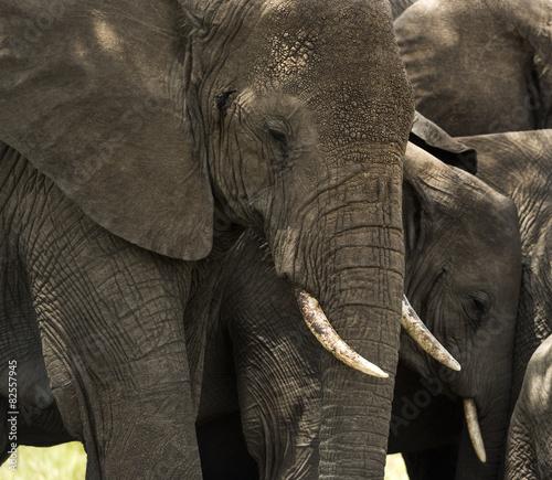 Canvas Prints Elephant Close-up of a herd of elephants, Serengeti, Tanzania, Africa