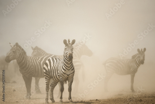 Canvas Prints Zebra Zebra standing in dust, Serengeti, Tanzania, Africa