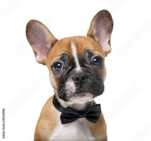Foto op Plexiglas Franse bulldog French bulldog puppy wearing a bow tie in front of a white backg