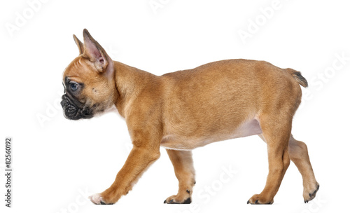 Poster Bouledogue français French bulldog puppy in front of a white background