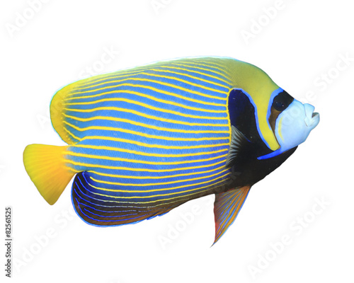 Cuadros en Lienzo Tropical fish isolated on white: Emperor Angelfish