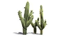 Saguaro Cactus - Isolated On W...