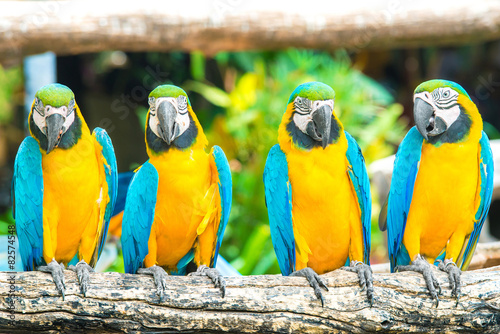 Foto op Canvas Papegaai Blue macaws sitting on log with black background.