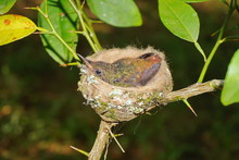 Young Bird Of Rufous-tailed Hu...