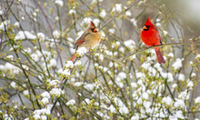 Male And Female Cardinals Perc...