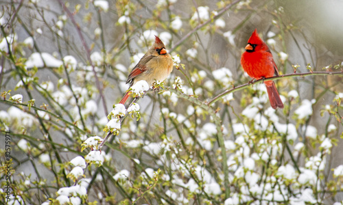 Poster Bird Male and female Cardinals perch in a snowy rose bush.