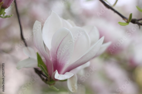 Foto op Plexiglas Magnolia magnolia close up