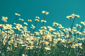 Obraz na SzkleVintage chamomile flowers against blue sky