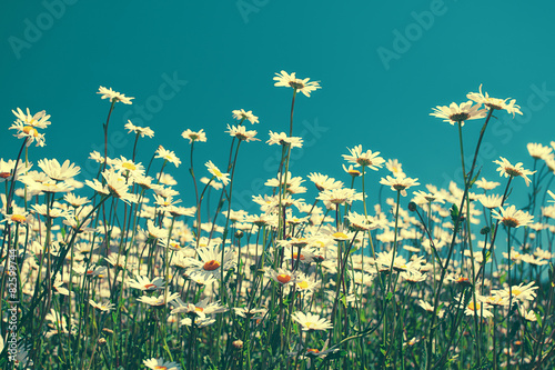 Vintage chamomile flowers against blue sky - 82599744