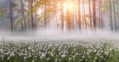 Poster Kaki Daffodils at sunrise
