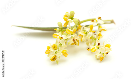 Photo sur Toile Oliviers olive tree flowers
