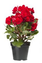 Red Begonia Flowers Closeup In...