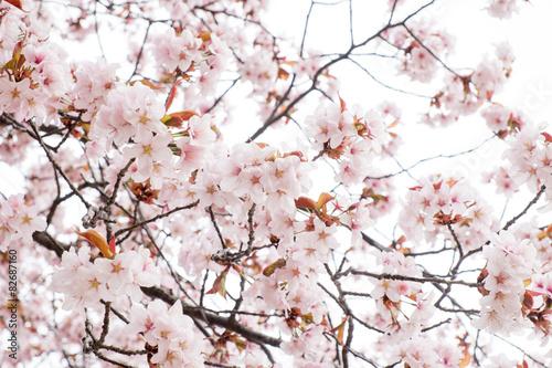 Blühende Kirschblume