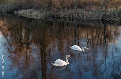 Foto auf Acrylglas Schwan Swan lake in sunset