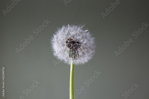 dandelion front of empty background.