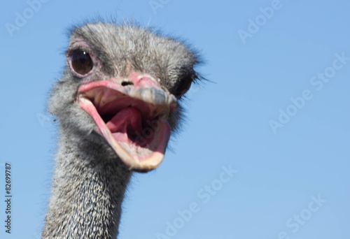 Staande foto Struisvogel Ostrich head closeup