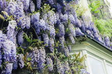Wisteria Growing On A House In...
