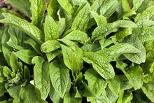 Comfrey Leaves - Symphytum Officinale