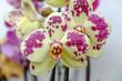 Orchidea Orientale
