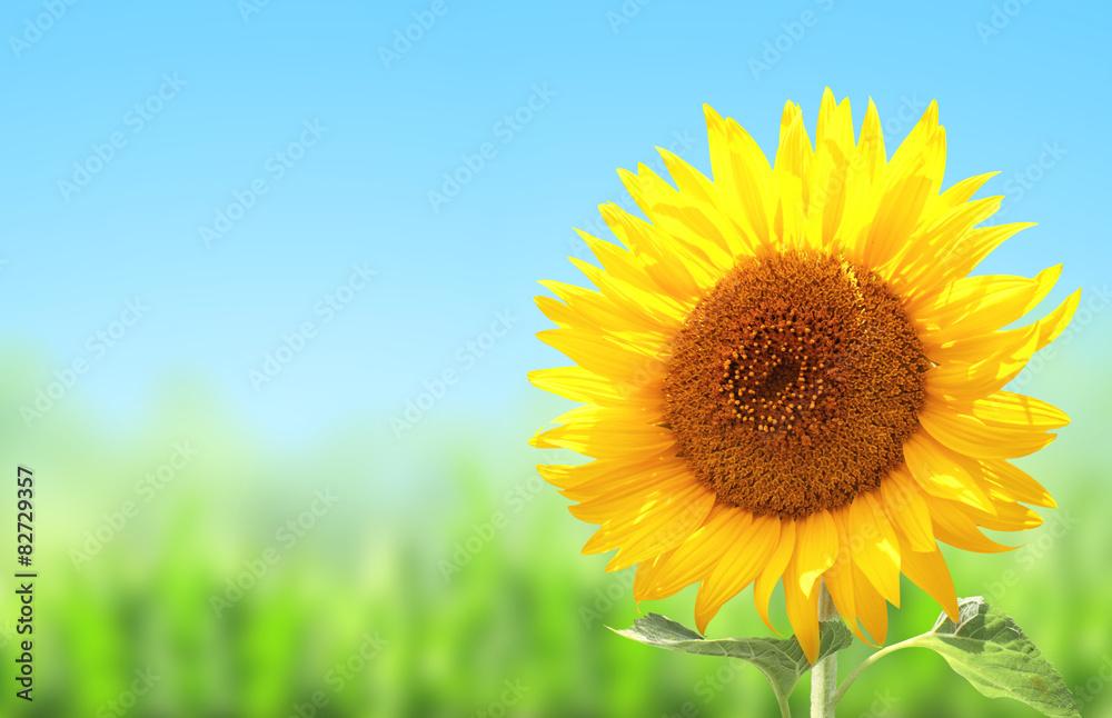 Yellow sunflower and green grass
