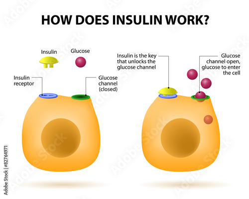 Fotomural  How does insulin work