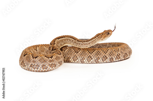 Aruba Rattlesnake Coiled Side View Tongue Out Wallpaper Mural