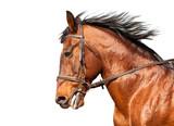 Brązowy koń na wydzielonym białym tle