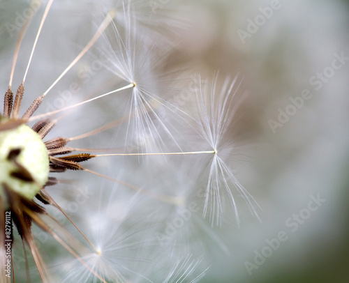dandelion close up over natural background