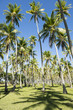 Coconut Palm Trees Grove Blue Sky