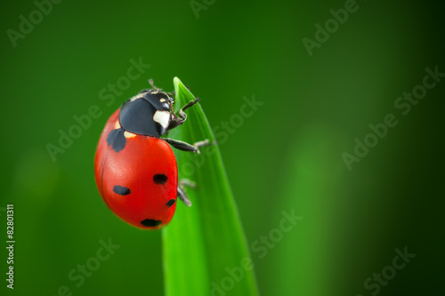Ladybug on Leaf Canvas Print