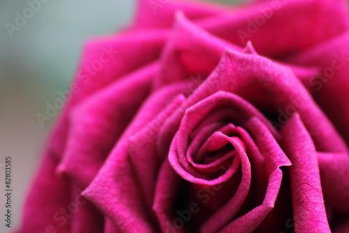 Red & Purple Rose © poripotto