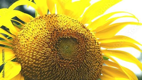 A Sunflower for summer sunshine. © poripotto