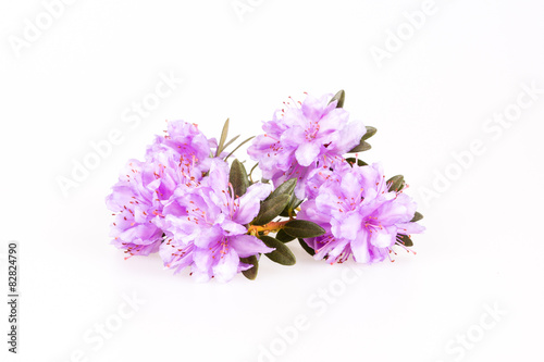 Rhododendron flowers composition on a white background