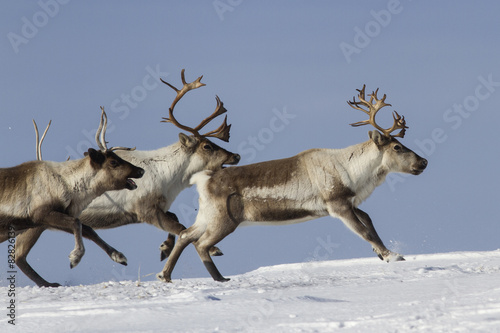 Photo  Reindeer that run on a snowy tundra winter day