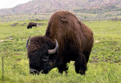 Papiers peints Buffalo American Buffalo on the plains of Lawton,Oklahoma.