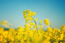 Oilseed Rapeseed Flowers In Cu...