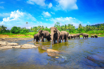 Fototapeta na wymiar Elephant group in the river