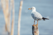 Seagull Standing On Stool
