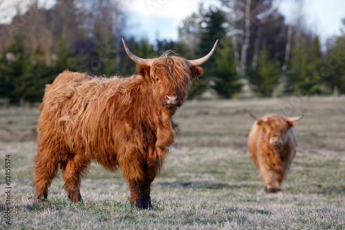 Fototapeta Highland cattles obraz