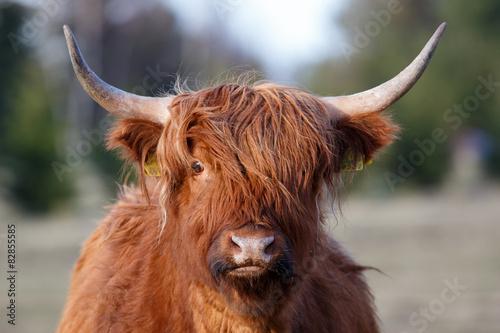 Fototapeta Portrait of highland cattle obraz