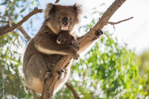 In de dag Koala Baby koala and koala mother