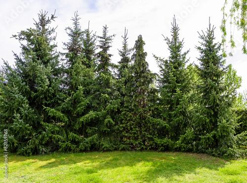 Nadelbäume Fototapete