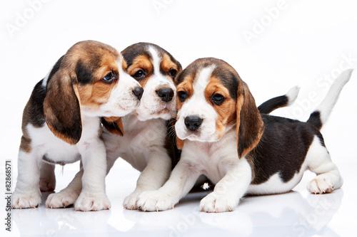 Naklejki na meble Beagle - szczeniaki na białym tle