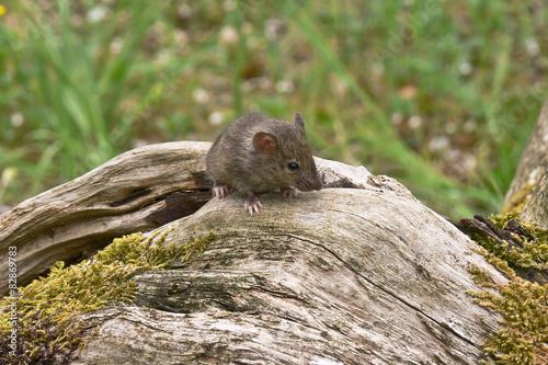 Fotografía  topolino domestico (Mus domesticus) ritratto