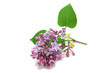 sprig of beautiful flowers lilac on a white background