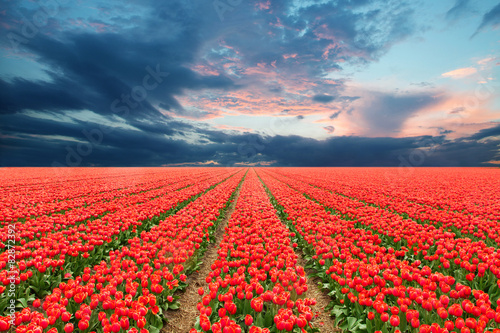Tulip field in Netherlands