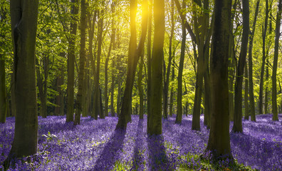 FototapetaSunlight casts shadows across bluebells in a wood