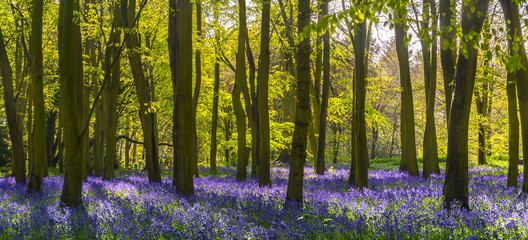 Panel SzklanySunlight casts shadows across bluebells in a wood