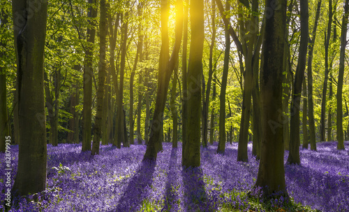 fototapeta na lodówkę Światło słoneczne rzuca cienie na dzwonki w lesie
